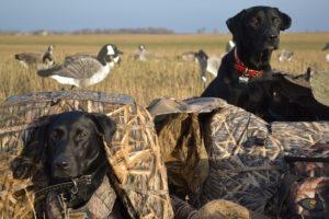 Hypoglykämie - Unterzuckerung beim Hund gefährdet Jagdhunde
