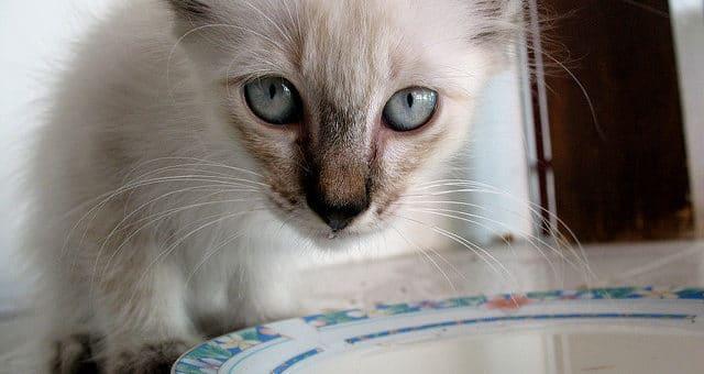 Laktoseintoleranz bei Katzen