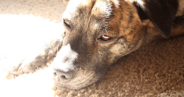 Fieber beim Hund erkennen und behandeln
