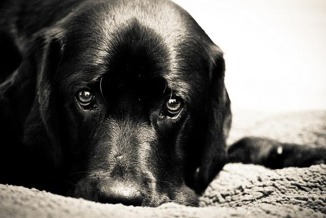 Appetitlosigkeit und fehlender Antrieb sind Anzeichen für Fieber beim Hund