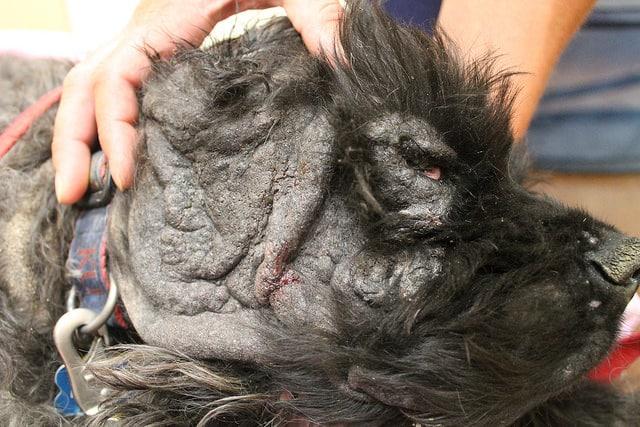 Hautinfektionen durch Hypothyreose bei Hunden