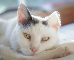 Hautkrebs Plattenepithelkarzinom betrifft meist helle Katze