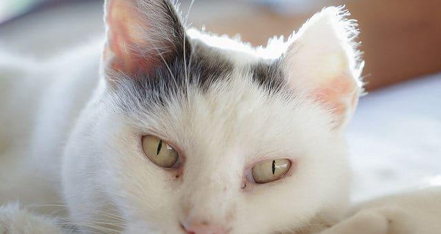 Hautkrebs (Plattenepithelkarzinom) Katze