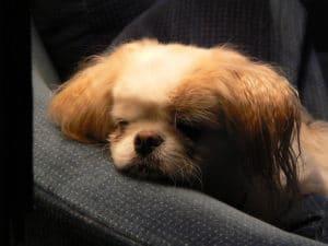 Typische Symptome der Bindehautentzündung Hund