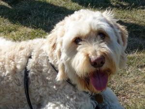 Rezeptfreies Hund Benadryl Medikament gegen Allergien