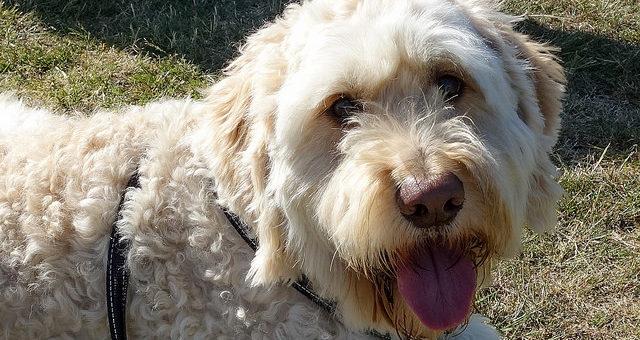 Kann ich meinem Hund Benadryl geben?