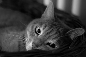 Impfung gegen Katzenflöhe
