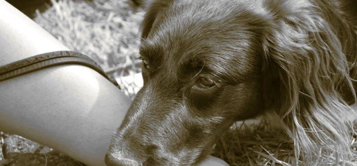 Blutgruppen und Blutspenden bei Hunden