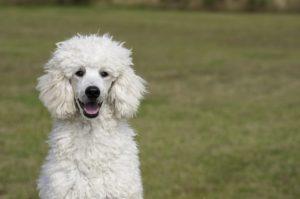 Der Pudel gilt als optimaler Hund für Allergiker